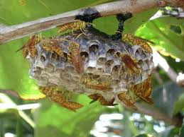 wasp nest pic